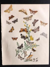 Humphreys & Westwood British Moths 1845 Hand Col Print 57